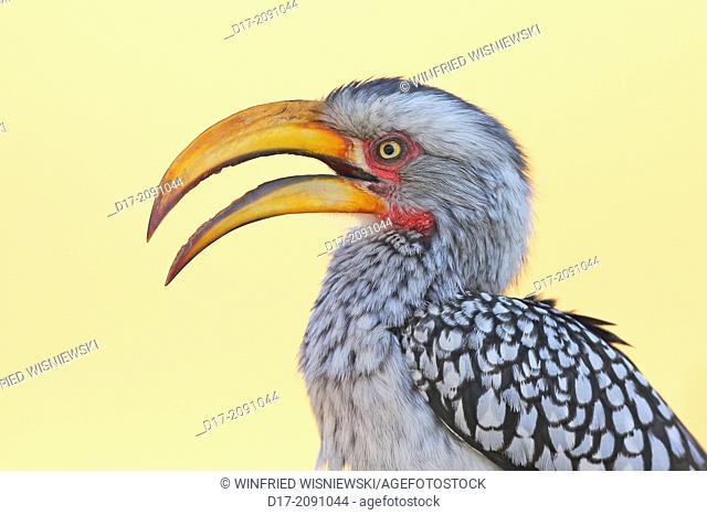 Yellow-billed hornbilll (Tockus flavirostris). Hwange National Park. Zimbabwe