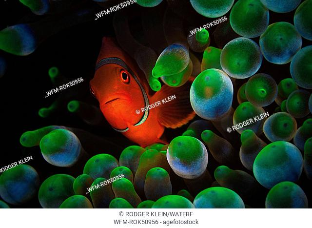 Spinecheek Clownfish in Bubble Anemone, Premnas aculeatus, Raja Ampat, Misool, West Papua, Indonesia