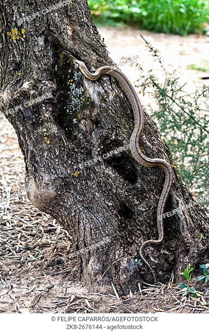 Rhinechis scalaris, called also Ladder snake, climbing in an olive tree, Spain