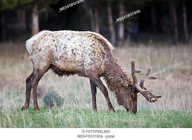 USA, Yellowstone Park, Elk grazing in field Cervus canadensis