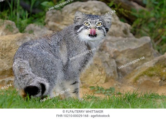 Pallas's Cat Felis manul adult licking nose, summer coat