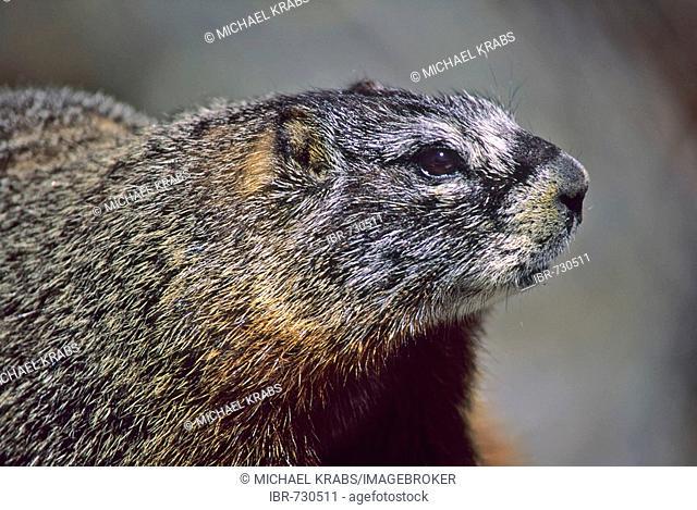 Yellow-bellied Marmot (Marmota flaviventris), Rocky Mountains National Park, Colorado, USA