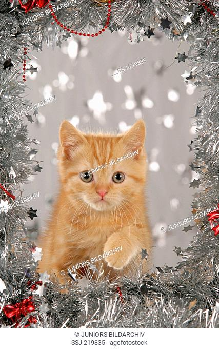 British Shorthair. Red tabby kitten surrounded by a silver garland. Germany