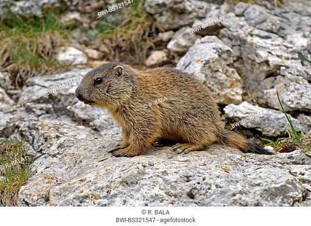 alpine marmot (Marmota marmota), juvenile sitting on a rock, Italy