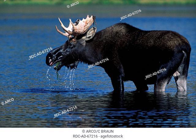 Moose bull nationalpark Grand Teton Wyoming USA Alces alces