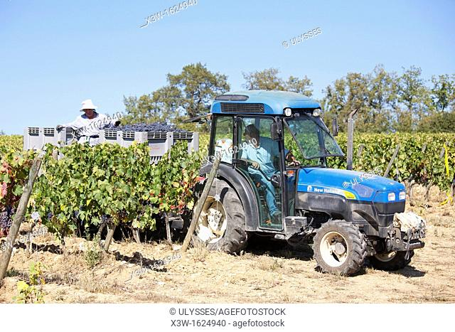 grape harvest, vineyards, chianti, area of brolio, province of siena, tuscany, italy, europe