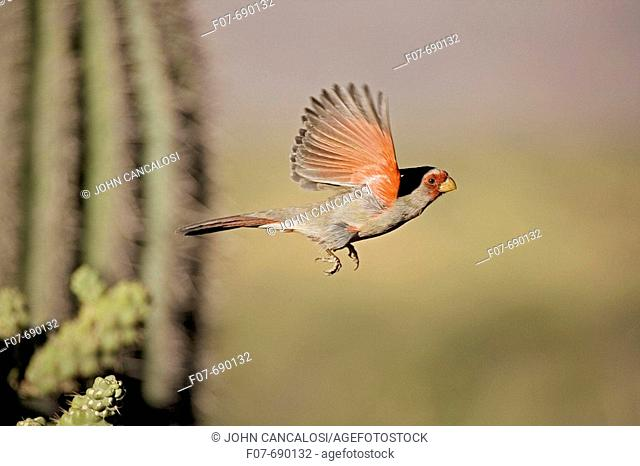 Pyrrhuloxia (Cardinalis sinuatus). Arizona. Male. Perched on ocotillo. Rose-colored breast and crest suggest a Cardinal but the gray back and yellow bill set it...
