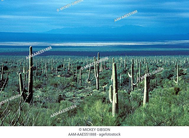 Saguaro Cactus (Cereus giganteus) Sonoran Desert, Arizona