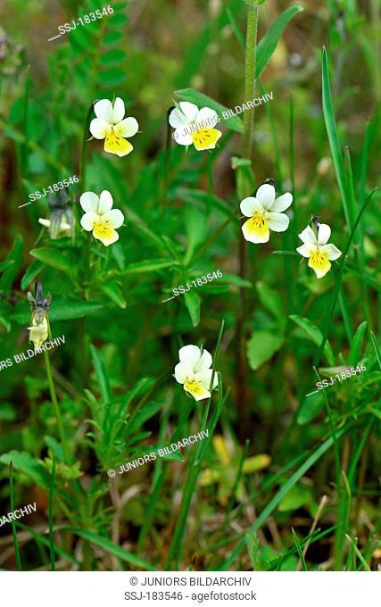 Field Pansy (Viola arvensis), flowering plant. Germany