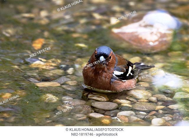 Chaffinch Fringilla coelebs male bathing - Bavaria/Germany