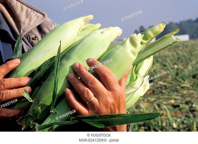 Hands Holding Ears of Corn in Field