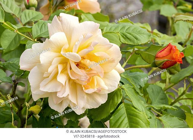 Rosa 'Autumn Sunset' Breeder : Lowe 1988