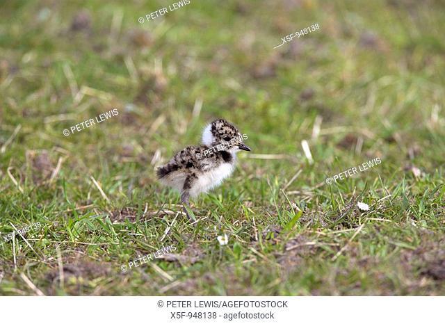 Lapwing Vanellus vanellus Chick North Uist Western Isles Scotland