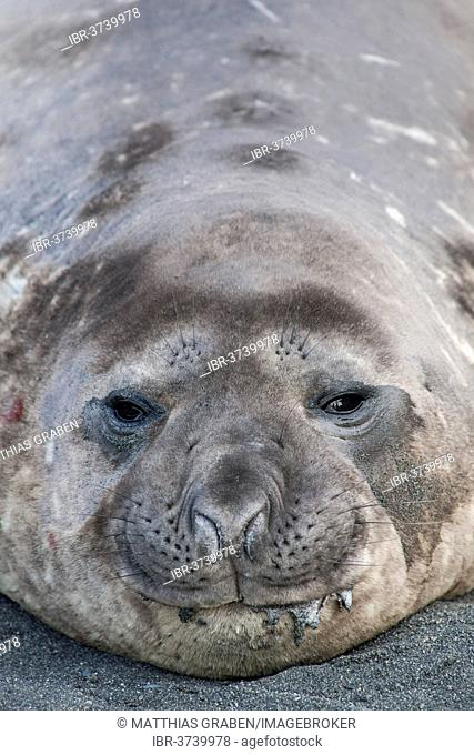 Southern Elephant Seal (Mirounga leonina), young male, Gold Harbour, South Georgia and the South Sandwich Islands, Antarctica