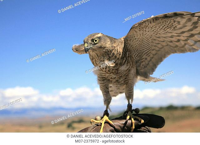 Sparrowhawk accipiter nisus used in falconry