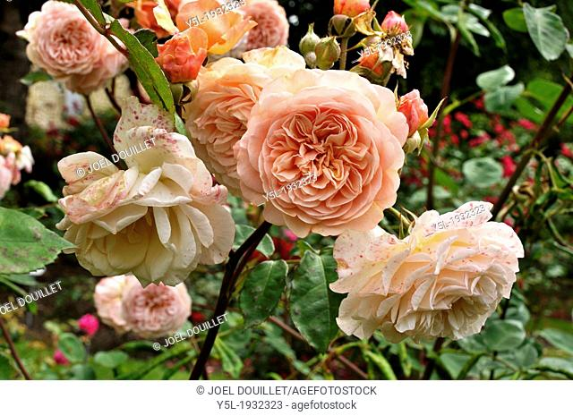 Rosa 'Leander', english rosebush (Breed by David Austin, 1982), large robust shrub, flowers with the color deep apricot
