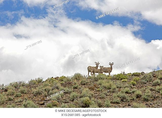 A family of Big Horn sheep including a baby watch carefully from the top of a ridge of sage brush against a mass of white clouds and steak of blue sky