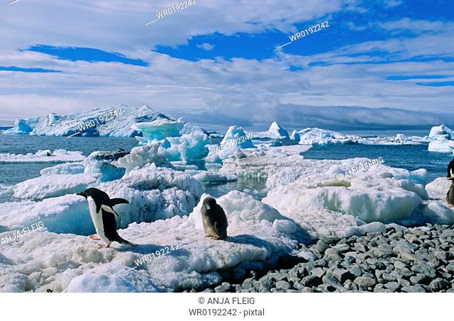 Adult AdÈlie Penguin Pygoscelis adeliae leaving its chick for finding food Paulet Island, Weddell Sea, Antarctica