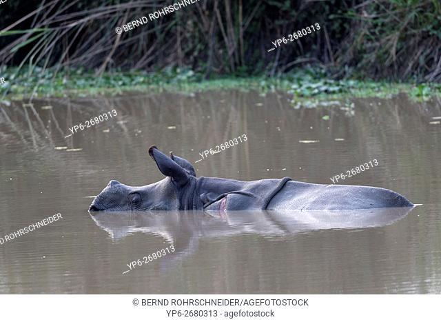 young Indian rhinoceros (Rhinoceros unicornis) bathing in waterhole, threatened species, Kaziranga National Park, Assam, India
