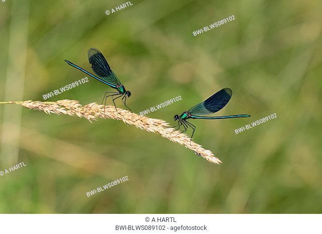 banded blackwings, banded agrion, banded demoiselle Calopteryx splendens, Agrion splendens, rivalling males, Germany, Bavaria