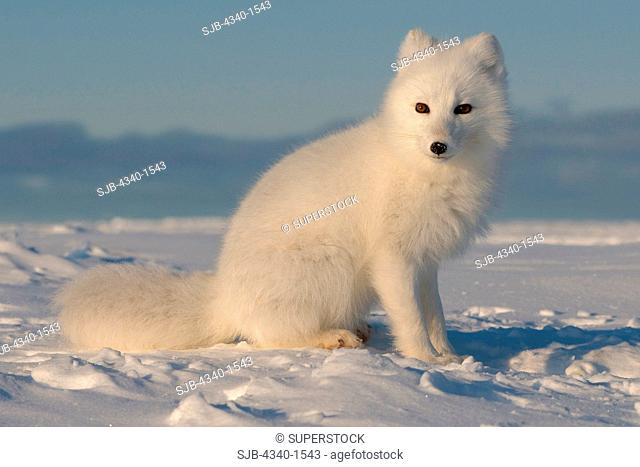 Arctic Fox Along The Arctic Coast Of Alaska