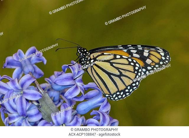 Monarch Butterfly, Danaus plexippus, on hyacinth blossom