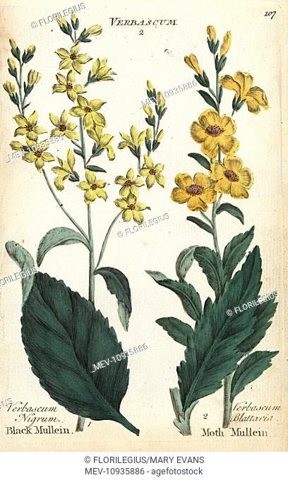 Black mullein, Verbascum nigrum, and moth mullein, V. blattaria. . Handcolored botanical copperplate engraving from Joshua Hamilton's Culpeper's English Family...