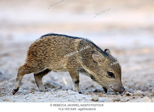 A baby javelina in Texas