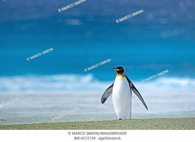An adult King penguin (Aptenodytes patagonicus) standing, Volunteer Point, East Falkland, Falkland Islands