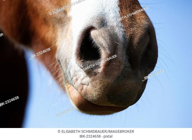 Icelandic horse, detail view of the nostrils, southern Iceland, Iceland, Europe
