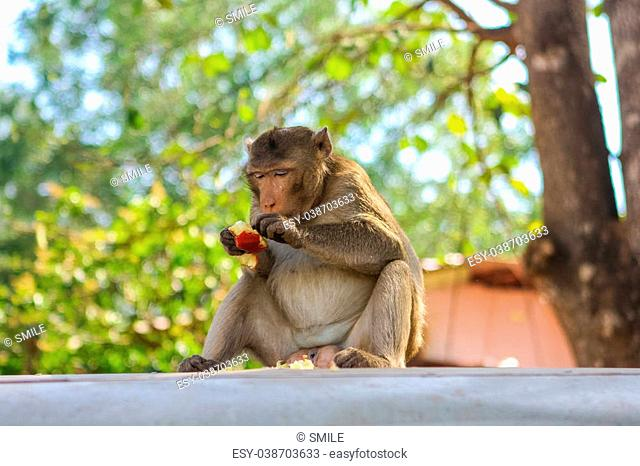 Monkey. Crab-eating macaque seats on the tree