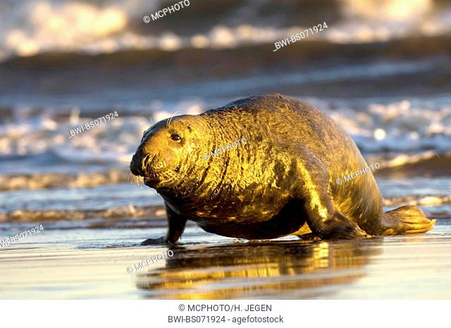 gray seal (Halichoerus grypus), on the beach, Europe, Germany, Schleswig-Holstein, Heligoland