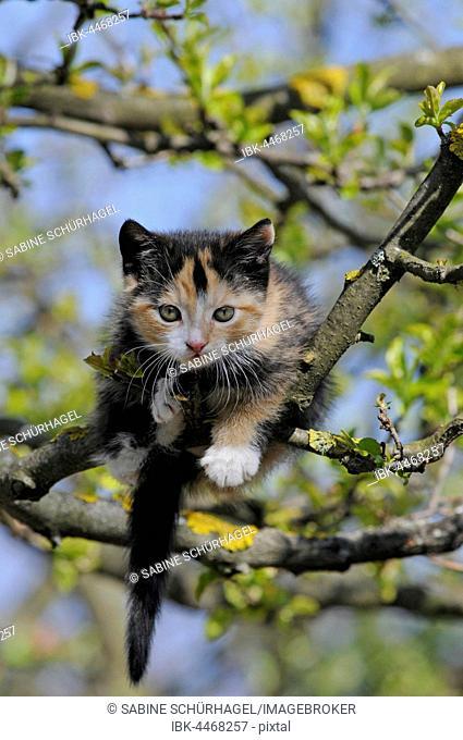 Domestic cat (Felis catus), female, 9 weeks, tortoiseshell, in apple tree
