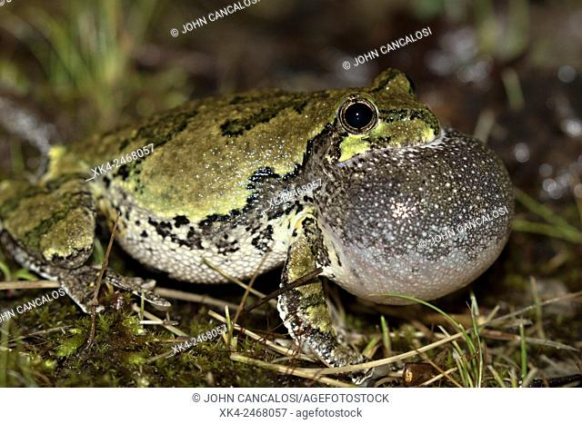 Gray treefrog (Hyla versicolor), male calling to attract females, New York, USA