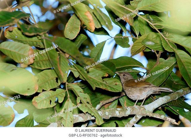 Bird, bird, Ramphocelus bresilius, Guarujá, São Paulo, Brazil