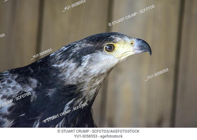 Portrait of a African Fish Eagle (Visarend) at Warwick Castle, Warwickshire, England