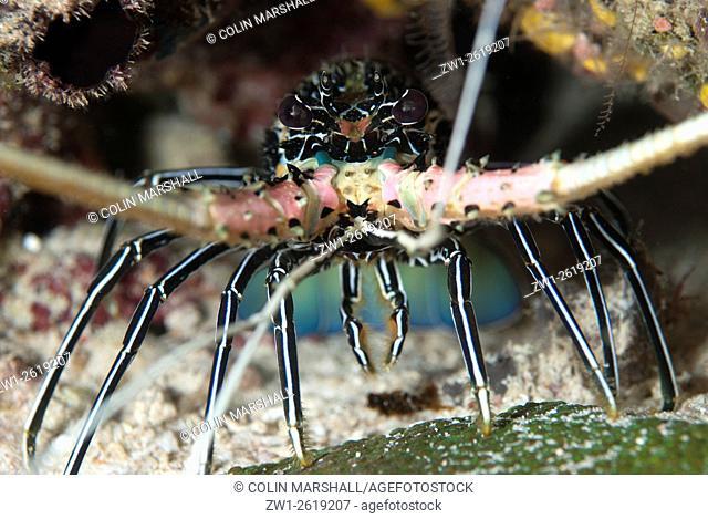 Painted Spiny Lobster (Panulirus versicolor), Barracuda Rock dive site, Fiabacet Island, Raja Ampat (4 Kings) area, West Papua, Indonesia