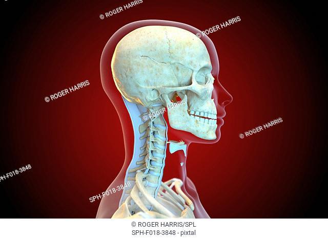 Human ligaments of the cervical spine, illustration