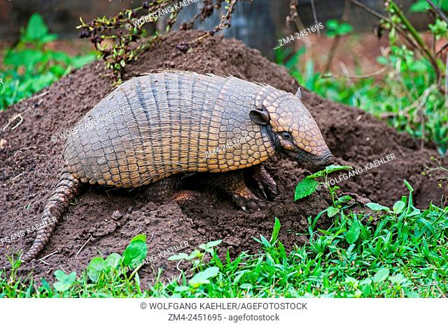 A Yellow armadillo (Euphractus sexcinctus) at a burrow at Caiman Ranch in the Southern Pantanal in Brazil