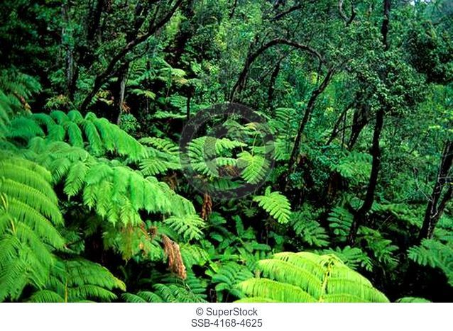 USA, Hawaii, Hawaii Volcanoes National Park, Thurston Lava Tube, Tree ferns and Kukui trees