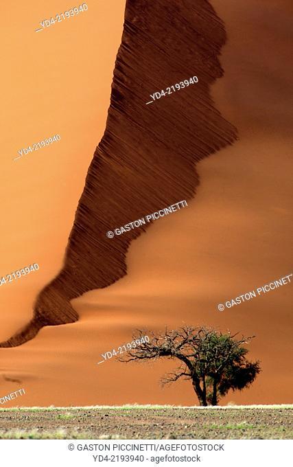 Camelthorn tree (Acacia erioloba), and the sand dune at the botton, Namib-Naukluft National Park, Namib desert, Namibia
