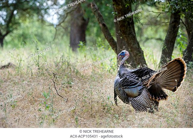 Rio Grande Turkey, Meleagris gallopavo intermedia, Central California, USA