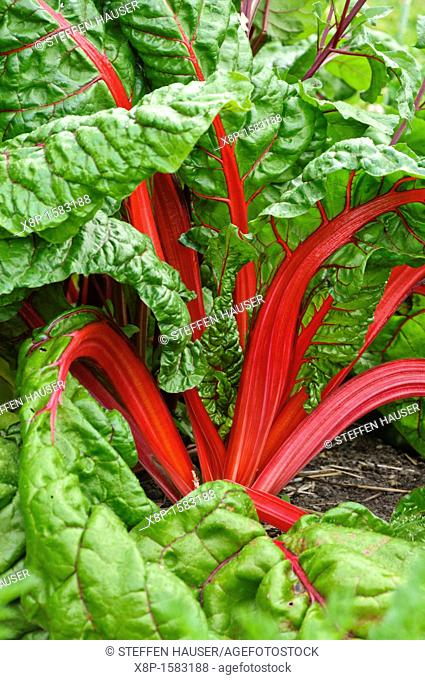 Mangold Beta vulgaris var  cicla