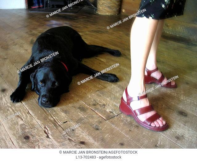 black labrador sprawled on floor