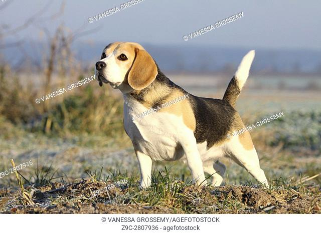 A Beagle dog standing at the stop