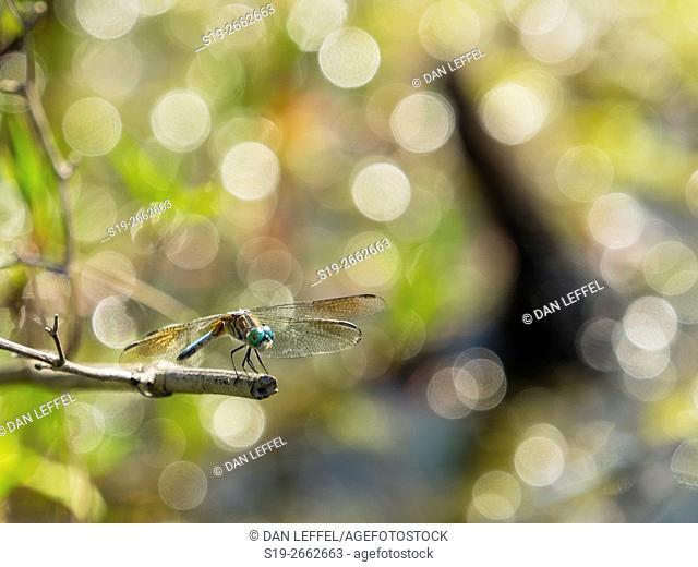 Okefenokee Swamp Dragonfly