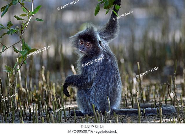 Silvered Leaf Monkey (Trachypithecus cristatus) in mangrove swamp, Bako National Park, Sarawak, Borneo, Malaysia