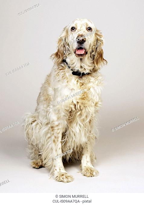 English Setter with mouth open