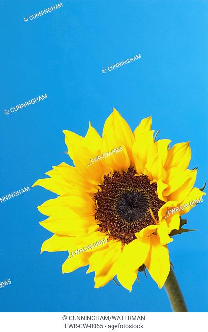 Helianthus - variety not identified, Sunflower