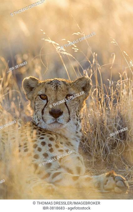 Cheetah (Acinonyx jubatus), resting male, captive, Namibia